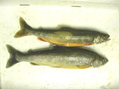 I pesci d 39 acqua dolce un inno alla salute for Pesci acqua dolce commestibili