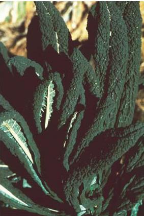 Cavolo nero