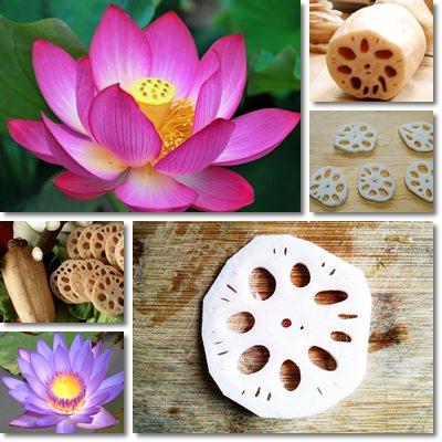 radice di loto
